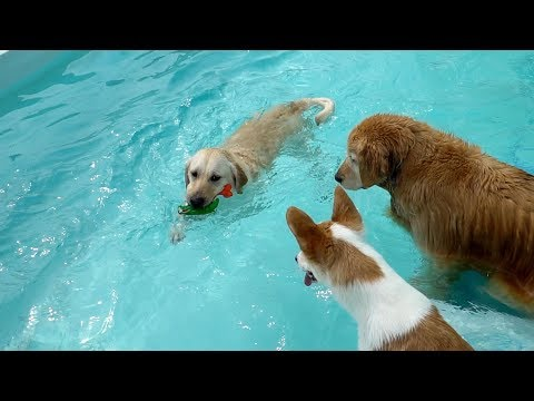 how-the-retrievers-play-in-water-|-funny-cute-dog