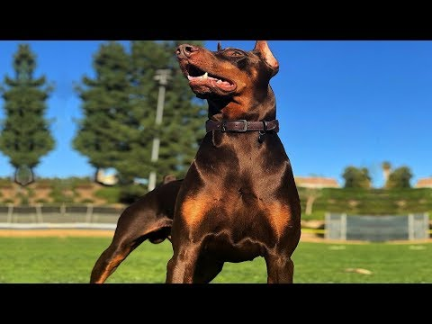 Top 6 Doberman Cross Breeds | Amazing Dog Breeds