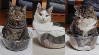 透明ボウルと3匹のねこ。-Clear bowl and 3 cats.-