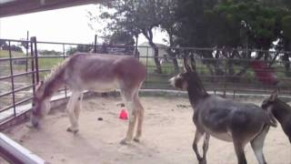 Repeat youtube video Mammoth Donkey bossed by little donks