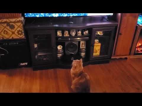 Cute Bobtail cat loves Science on TV