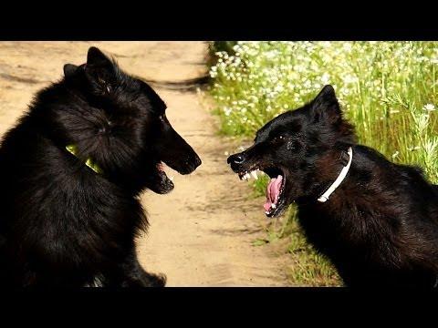 Belgian Groenendael Dog Attack!