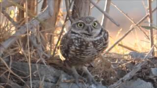Tecolote llanero (Athene cunicularia) | Burrowing Owl