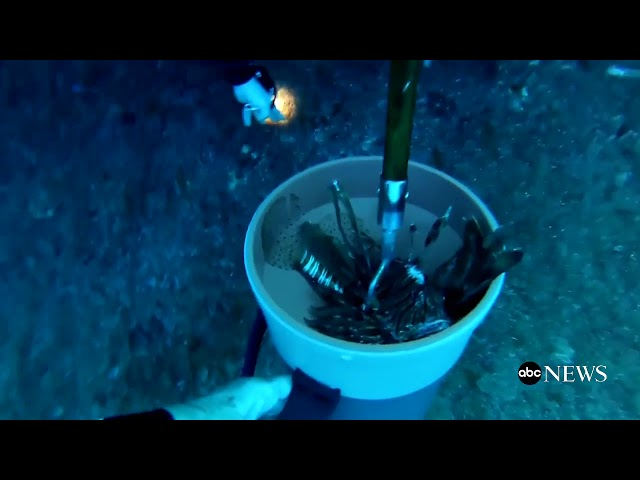 ABC News: ''Cyprus tackles lionfish population by deep-frying''