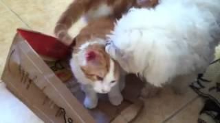 Maltese Licking Maine Coon  Kitten