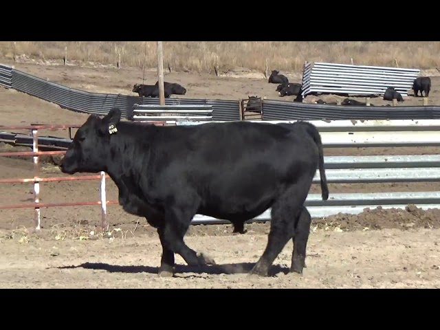 Connealy Angus Lot 194