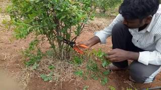 Pruning method in pomegranate