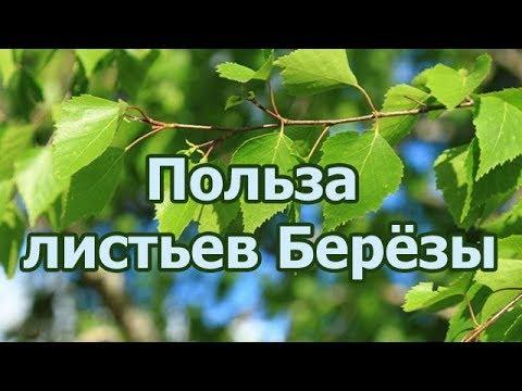 Лечебные и полезные свойства березовых листьев, противопоказания к применению.