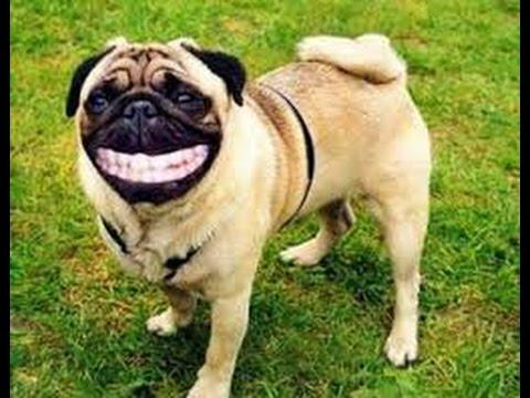 Perros riendose como humanos increible!