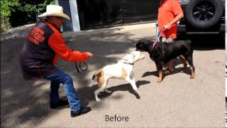 Mi Dog Behavioral Specialist - Bull Dog Aggression Vs. Rottweiler - Dog Whisperer Big Chuck Mcbride