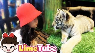 라임이가 용기내서 귀여운 아기 호랑이랑 사자를 만났어요 Courageously met a cute baby tiger and a lion