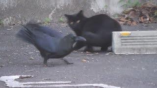 猫と鴉との異種格闘技!?最後は自分も参加(^_^;)? 単なる餌の奪い合いヵ...