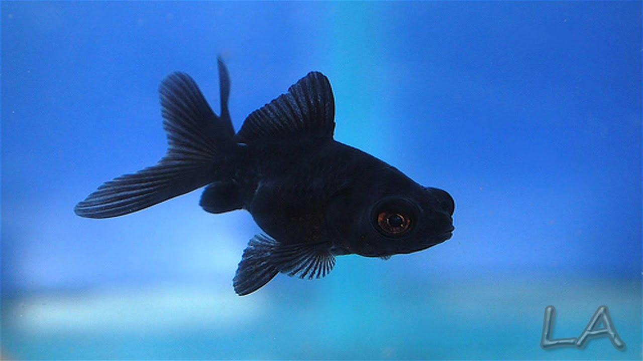 Baby Black Moor Goldfish Black moor goldfish - ...