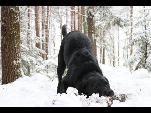 A labrador dog that really loves snow: Cute Puppies and Kittens