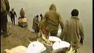видео: Браконьеры на Дальнем Востоке Заготовка красной икры