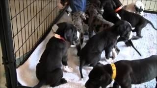 Great Dane Puppies Galore