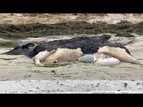 Mystery of the dead cows on beaches in Denmark and Sweden