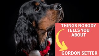Dogs: Gordon Setter Breed Information And Personality