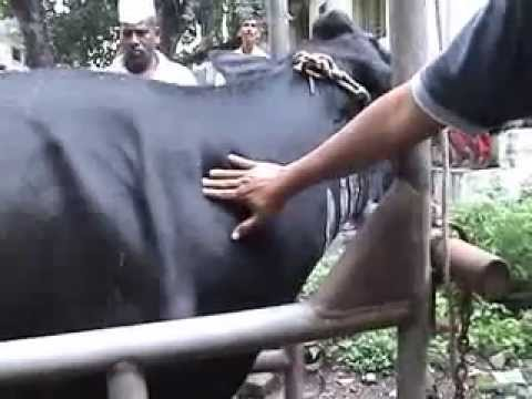 cow h f gas gangrene - youtube, Skeleton