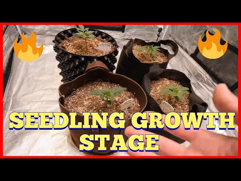 HOW I GROW FROM SEED TO HARVEST AUTOFLOWER + PHOTO PERIOD – SEEDLING GROWTH