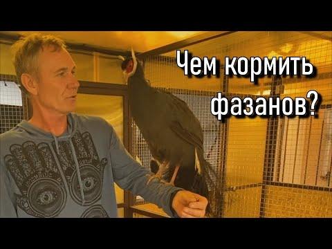 Кормление фазанов в домашних условиях и кормление