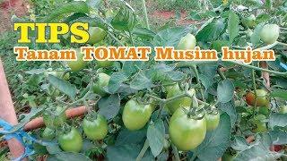 Download lagu TIPS  Menanam Tomat di Musim Hujan Agar Bebas Cendawan Patogen