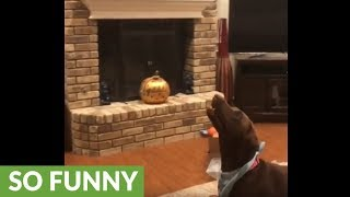 Dog loves to play volleyball with owner