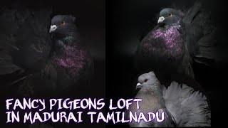 (part127) Fancy Pigeons loft | புறா வளர்ப்பு மற்றும் விற்பனைக்கு உள்ளது இடம் மதுரை மாவட்டம் | KBM