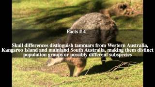 Tammar wallaby Top # 9 Facts