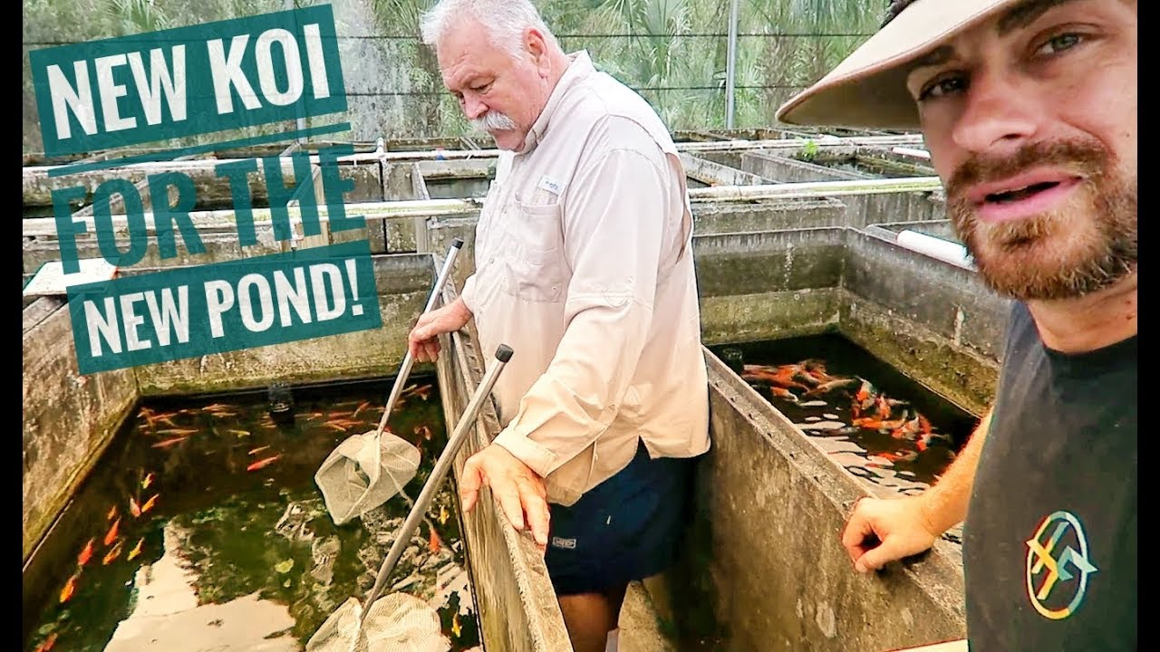 how-to-pick-the-best-koi