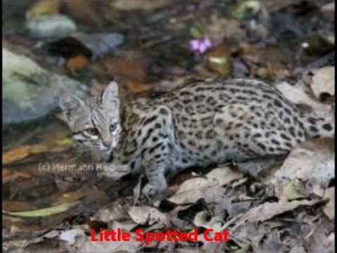 largest wild cat - photo #27