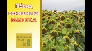 Подсолнечник Мас 97.А  🌻, описание гибрида 🌻 - семена в Украине