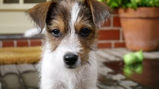 Cute Parson Jack Russell Puppy