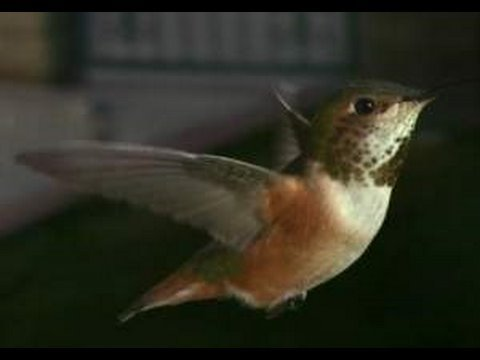 Slow Motion Hummingbirds HD P YouTube - Syncing a videos frame rate with a birds wings does something amazing
