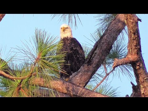 "SWFL Eagles_M15 Is 'In The House' & All Is Calm After Yesterday""s Rainstorm 08-15-18"