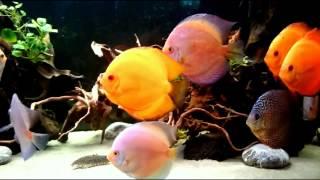 Интерактивный аквариумный туризм №21(Рубрика, куда вы присылаете свое видео и описание аквариума, а мы делаем из этого выпуск. Тема для Заявок:..., 2015-01-14T21:57:30.000Z)