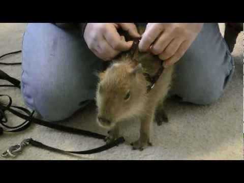 Tuff'n, The Cutest Baby Capybara You Will Ever See Tuff'n、世界で最もかわいい赤ちゃんカピバラ