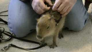Capybara Training Capy Enthusiastically Dons Harness カピバラハーネストレーニング