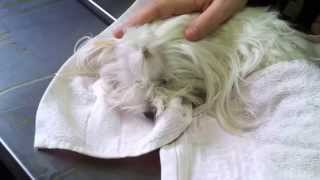 Chelsea (maltese Mommy) & 3 Cute Male Maltese Puppies - Right After Giving Birth