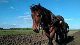 Если трактор не завелся лошадь и соха приходят на помощь