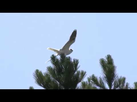 Baby Hawk? Learning To Fly. White Tailed Kite? (4K)