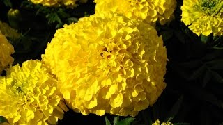How To Grow Merigold( गेंदा फूल)