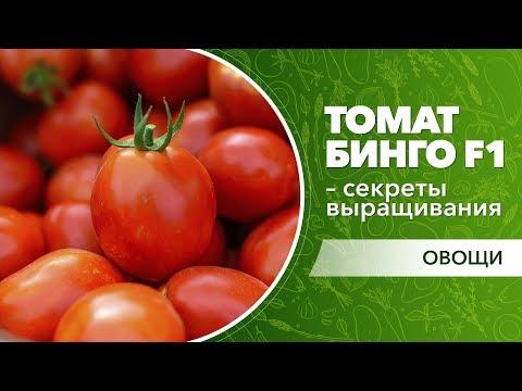 Секреты выращивания раннего томата Бинго F1