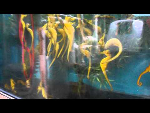 Dwarf Seahorses Eating Frozen Food