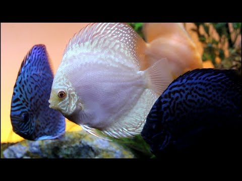 Discus Fish (Instrumental No Commentary)