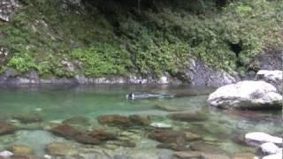 高知の山奥安居川で愛犬と泳ぐ.