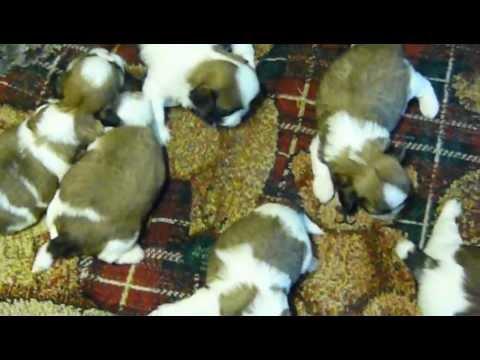 Shih tzu puppies for sale in ga fl al tn sc nc Atlanta Birmingham Jacksonville surrounding cities