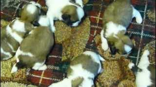 Shih Tzu Puppies For Sale In Ga Fl Al Tn Sc Nc Atlanta Birmingham Jacksonville Surrounding Cities