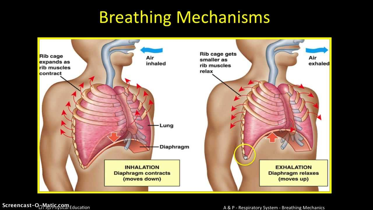 A&P Respiratory System (2) - Breathing Mechanics - YouTube