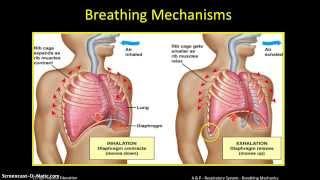 A&P   Respiratory System  (2) - Breathing Mechanics